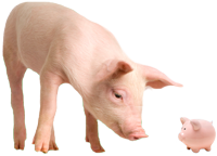 Pig looking at piggy bank